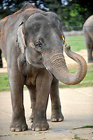 Whipsnade, Beds - Elephant Painting at ZSL Whipsnade Zoo, Bedfordshire - September 19th 2012 ..Photo by Ross Stratton...