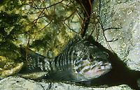 Sägebarsch, Säge-Barsch, Serranus cabrilla, Paracentropristis cabrilla, Comber, Sägebarsche, Serranidae