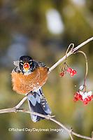 01382-05003 American Robin (Turdus migratorius) eating berry of American Cranberry Viburnum (Viburnum trilobum) in winter, Marion Co., IL