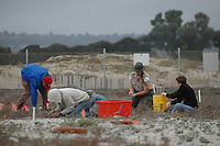 Mariner's Point, San Diego, CA, USA.  Saturday, December 13, 2008:  Park Ranger Lisa Wilson and SDSU Undergraduate student Ian Cain (R) work with Volunteers from the San Diego Audubon Society to clean up one of the last Least Tern nesting sites on Mission Bay.  Volunteers focused on weeding out non-native plants from the site.
