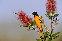 Baltimore Oriole (Icterus galbula), adult feeding on Lemon Bottlebrush (Callistemon citrinus), Sinton, Corpus Christi, Coastal Bend, Texas Coast, USA