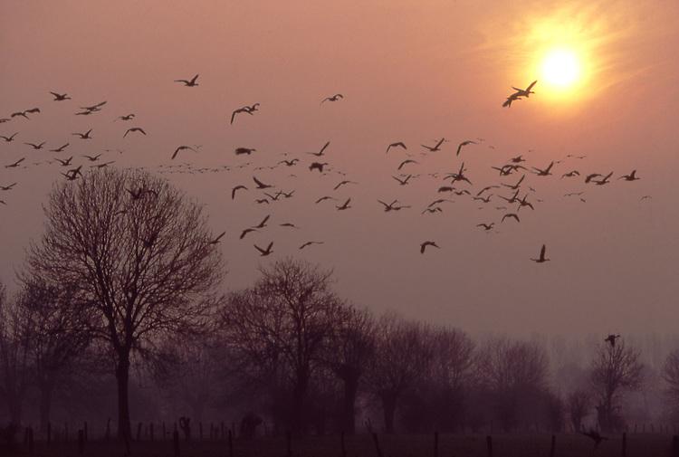 DEU, Deutschland, Nordrhein Westfalen, Niederrhein, Voerde, Naturschutzgebiet Momm Niederung, Wildgaense im Winter, Jedes Jahr finden sich rund 150.000 Blaessgaense und 10.000 bis 20.000 Saatgaense aus Sibirien in dem Gebiet zwischen Wesel und dem niederlaendischen Nimwegen zur Ueberwinterung am Niederrhein ein. Im noerdlichsten Sibirien kann schon Mitte August der erste Schnee fallen, dann verschlechtern sich die Lebensbedingungen so sehr, dass die Gaense aufbrechen. Am wintermilden Niederrhein treffen sie auf optimale Voraussetzungen, gemaeßigte Temperaturen, weitlaeufige Wiesen- und Wasserlandschaften und kilometerweit aneinander reichende Weiden locken die Voegel an...[Fuer die Nutzung gelten die jeweils gueltigen Allgemeinen Liefer-und Geschaeftsbedingungen. Nutzung nur gegen Verwendungsmeldung und Nachweis. Download der AGB unter http://www.image-box.com oder werden auf Anfrage zugesendet. Freigabe ist vorher erforderlich. Jede Nutzung des Fotos ist honorarpflichtig gemaess derzeit gueltiger MFM Liste - Kontakt, Uwe Schmid-Fotografie, Duisburg, Tel. (+49).2065.677997, fotofinder@image-box.com, www.image-box.com]