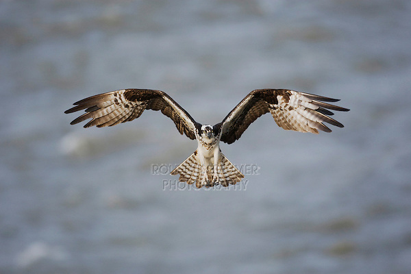 Osprey (Pandion haliaetus), adult in flight, Yellowstone River, Yellowstone National Park, Wyoming, USA