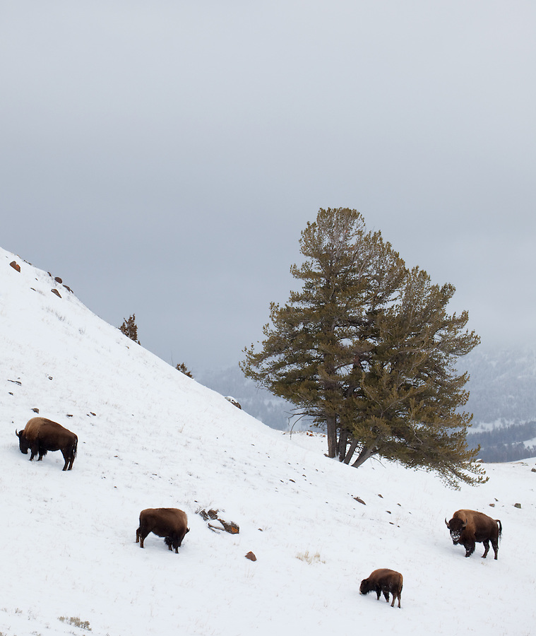A group of four bison graze near a tree on a snowy hillside in Yellowstone National Park.