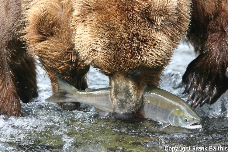 alaska brown bears fishing