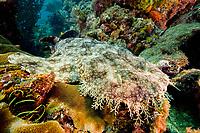 Tasselled wobbegong, Eucrossorhinus dasypogon, dive site: Three systers, Farondi Island, Raja Ampat, West Papua, Indonesia, Indo-Pacific Ocean