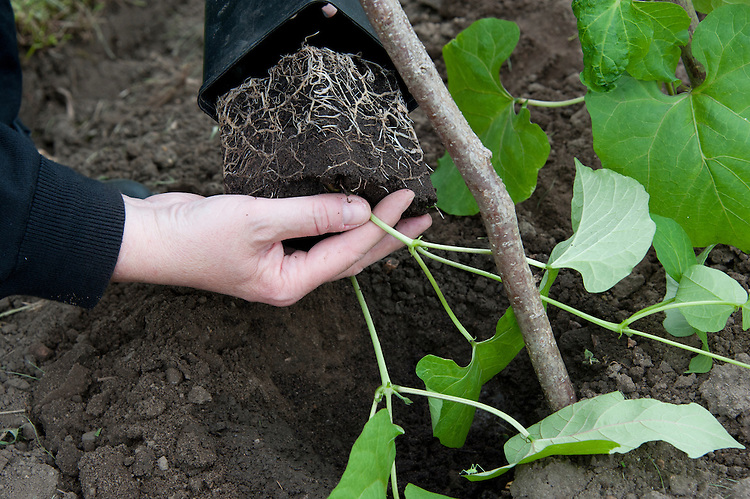 Planting out runner bean seedlings. Sequence 2, image 2 of 5.