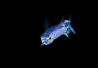 Ballyhoo Halfbeak, Hemiramphidae sp., encountered near the surface during a black water dive in 1000 feet of water.  Romblon, Philippines.  Pacific Ocean