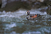 Harlequin Duck drake..Spring. North America..(Histrionicus histrionicus).
