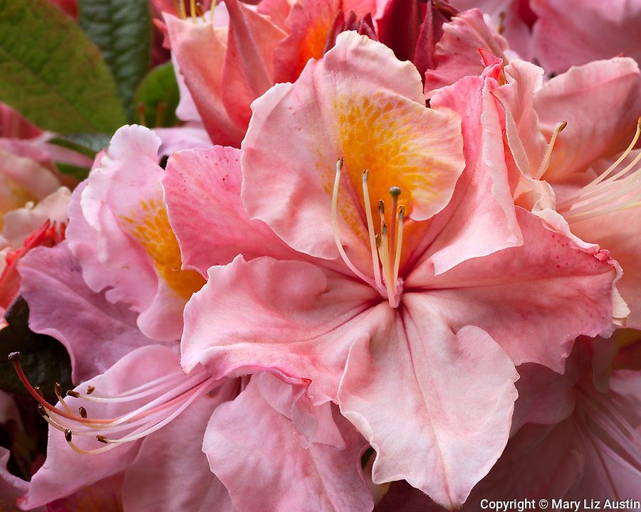 Shore Acres State Park, OR: A close up of the blossoms of Rhododendron 'Beaulieu' - a deciduous azalea