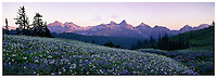 Panoramic view at dusk, of distant Tatoosh Mountain Range with foreground slopes carpetted in blooming wildflowers, along a hiking trail. Paradise area of Mount Rainier National Park, Washington State.....Photographed in 35mmm X-Pan format on Velvia 100 film.
