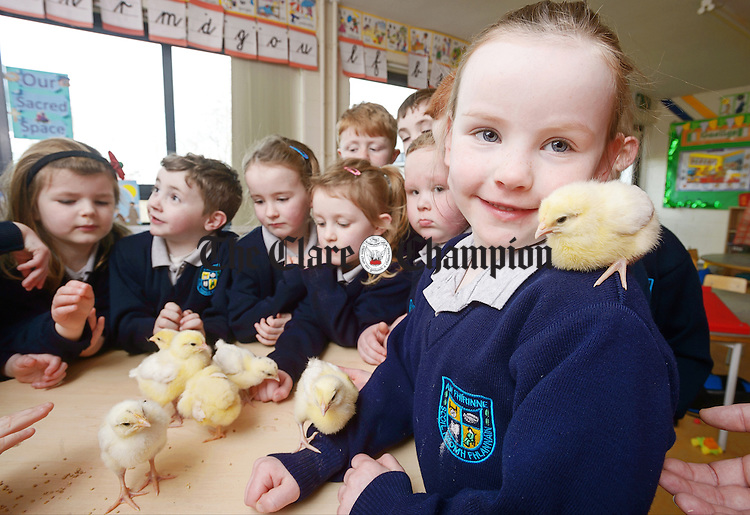 Junior and senior infant pupils with their brood in Mrs. Mc Geary's class during the Hatch For Schools project at St Flannan's National School, Inagh. The project involves the class rearing chicks from hatching through to two weeks old in their school and is part of the Science Strand of Caring For Living Things and Life Cycles programme. Photograph by John Kelly.