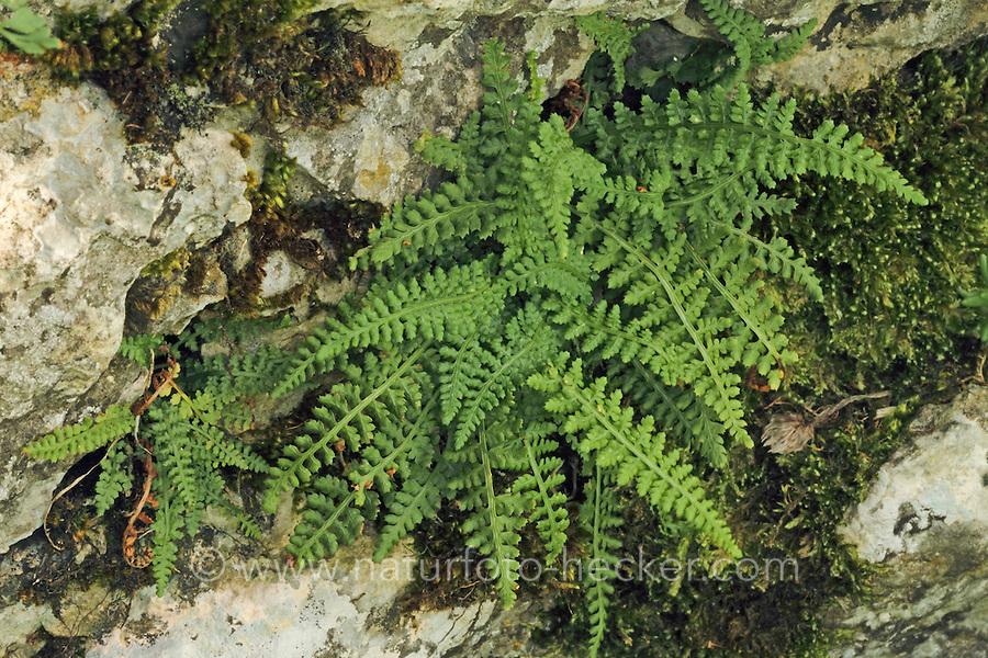 Jura-Streifenfarn, Asplenium fontanum, Smooth Rock Spleenwort, Smooth Rock- spleenwort, Asplénium des fontaines