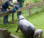"""Baby Hippo at Whipsnade Zoo - Sapo is a """"pygmy hippo"""" of 3 months old - he was taking his first swim today after being introduced to the public at the zoo in Dunstable, Beds..He was seen with nervous mum Flora. Sapo needed some coaxing into the water. And struggled to scramble out till he got some help from his mum..Species is endangered......pic by Gavin Rodgers/ Pixel 8000.07917221968"""