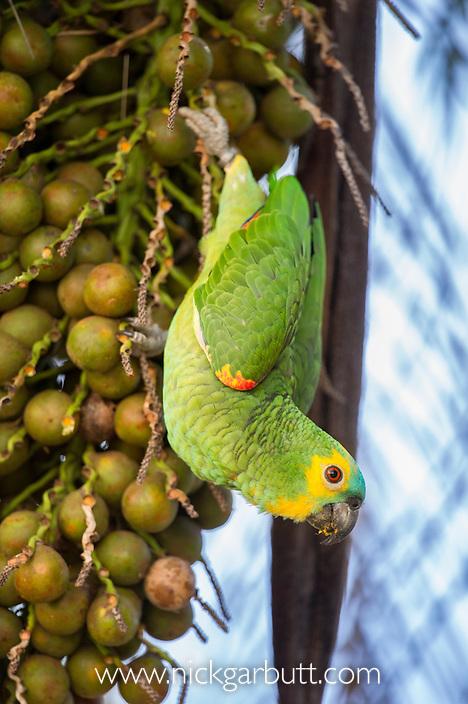 Orange-winged Amazon Parrot (Amazona amazonica) feeding on palm fruits. Southern Pantanal, Moto Grosso do Sul State, Brazil. September.