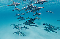 RZ0758-D. Spinner Dolphins (Stenella longirostris), very gregarious species often found in large groups. Hundreds of thousands were killed in past decades in purse seine nets used by the commercial tuna fishing fleet in the eastern tropical Pacific Ocean. Egypt, Red Sea.<br /> Photo Copyright &copy; Brandon Cole. All rights reserved worldwide.  www.brandoncole.com
