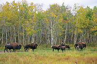 Plains Bison at Elk Island National Park (north side of 16), Alberta.  Fall.