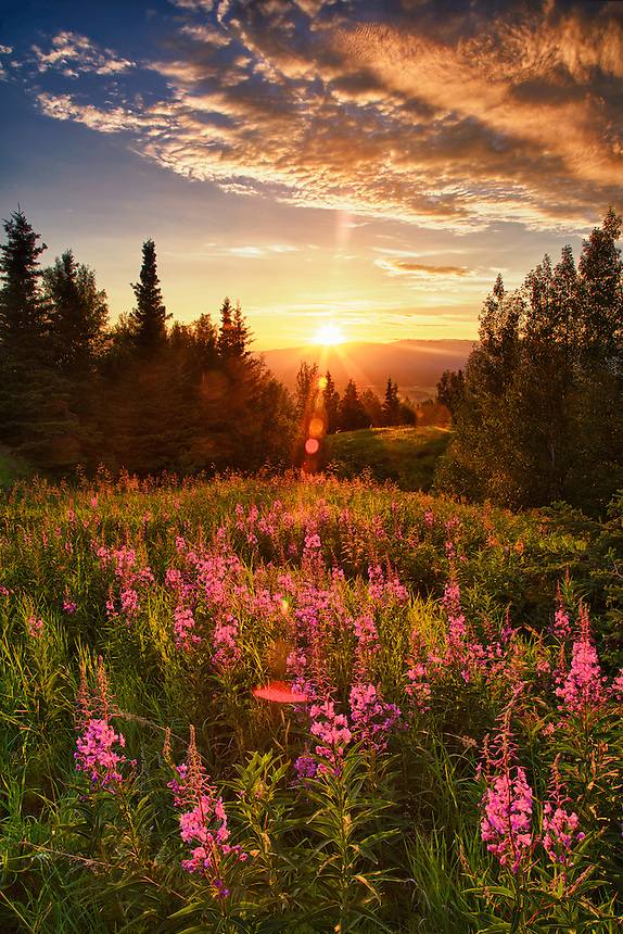 Sunset on fireweed atop Butte Mt, Palmer Alaska