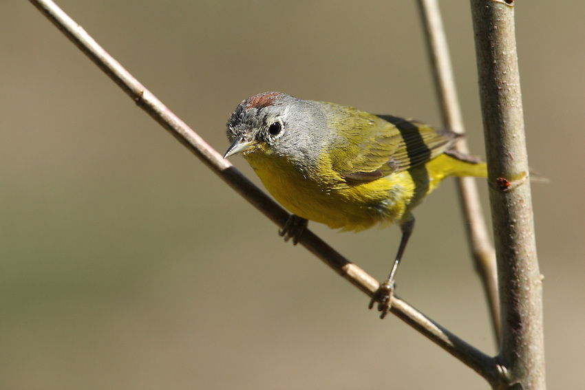 The song of the eastern (typical) race of the Nashville warbler consists of a rapid seewit-seewit-seewit-ti-ti-ti.<br /> Male in Spring plumage, with rusty crown patch visible.