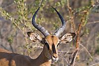 Blackface Impala, Dik Dik Drive, Etosha NP, Namibia