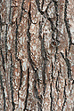 Trunk and bark of English or common oak (Quercus robur syn. Quercus pedunculata). Also called the Pedunculate oak.