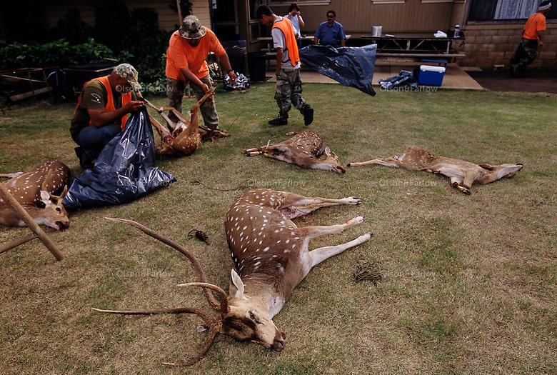 Skilled hunters bagged several elusive Axis deer on opening day of the hunting season on Lanai. Axis deer were a royal gift to the islands in 1868 islands from Hong Kong. Five were brought to Maui in 1959 for hunting and now there are 10,000 deer eating their way through <br />