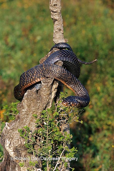 02811-00107 Texas Indigo Snake (Drymarchon corais erebennus) Starr Co. TX