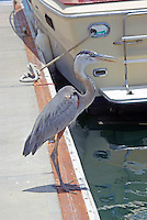 Great blue heron on boat dock, Mazatlan, Mexico