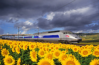 High speed train, tgv, travelling through fields of sunflowers and vineyards.  France.