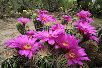 Strawberry Hedgehog Cactus (Echinocereus enneacanthus), blooming, Laredo, Webb County, South Texas, USA