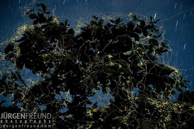 Night shot of fireflies in the thousands flittering about within in a single tree (Talisay - Wild Almond).