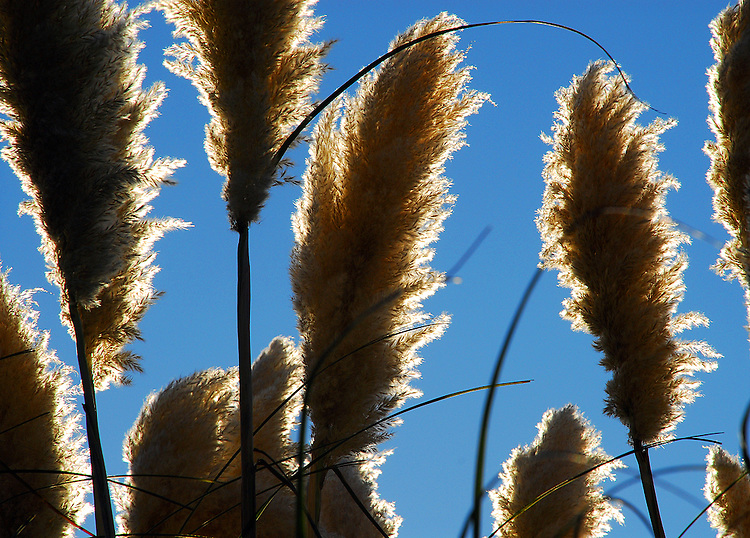Pampas Grass on Skyline (San Mateo County)