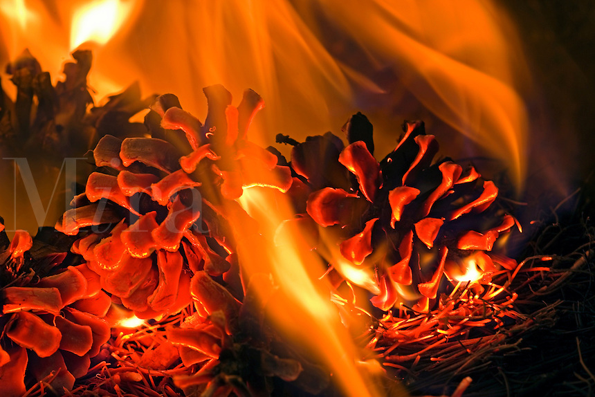 prescribed fire on forest floor burns pine cones and pine needles of ponderosa pine