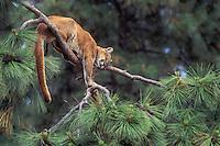 COUGAR/MOUNTAIN LION/PUMA. (Felis concolor)..Male sleeping in ponderosa pine. Summer..British Columbia. Canada.