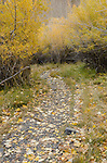 Hiking trail winding through autumn willows near Convict Lake, fall, Inyo National Forest, California