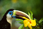 A white-throated toucan (Ramphastos tucanus) holding an alamanda flower blossom in its beak. This colorful species is one of the widest ranging toucan species in the Amazon region of South America.