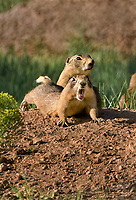 673030113v a wild utah prairie dog cynomys parvidens stretches and yawns near its burrow in bryce canyon national park utah united states