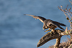 La Jolla, California; a juvenile Peregrine Falcon (Falco peregrinus) spreading its wings to regain its balance, while perched on a tree branch on a cliff with the Pacific Ocean in the background
