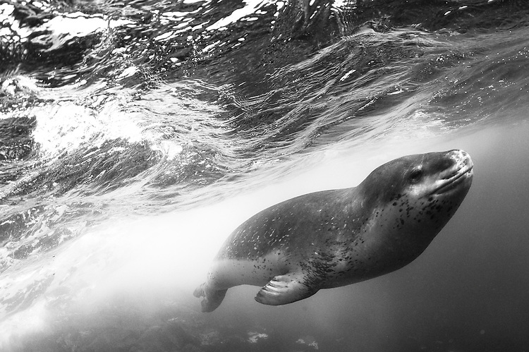 A close encounter with a Leopard seal (Hydrurga leptonyx), Astrolabe Island, Antarctica