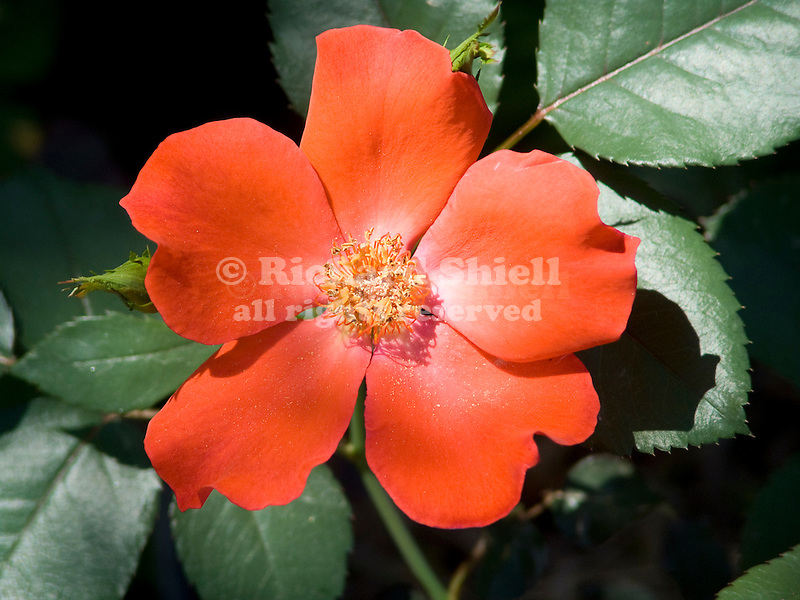 Playtime Rose, Floribunda Rosa hybrid
