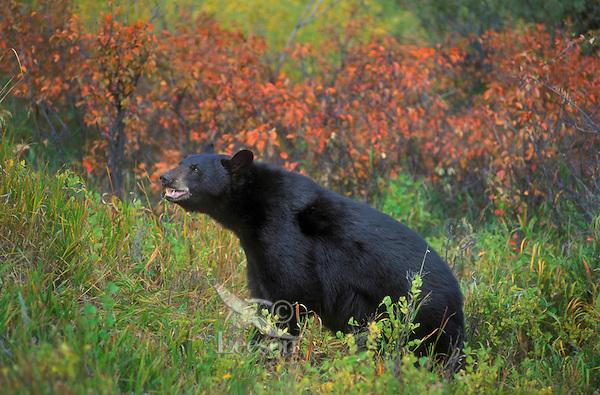 Black Bear (Ursus americanus) amid fall colors, autumn, Rocky Mountains, North America.