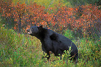 Black Bear (Ursus americanus) amid fall colors, autumn, Rocky Mountains, North America.