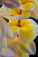 Close up of white and yellow plumeria lei