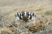 American badger pokiing head out of hole/den.  Westeern U.S., early spring.