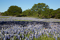 A large field of Texas Bluebonnets near Lake Buchanan