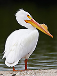 Adult male  white pelican on sand bar in Little Sarasota Bay, Sarasota,  Florida.