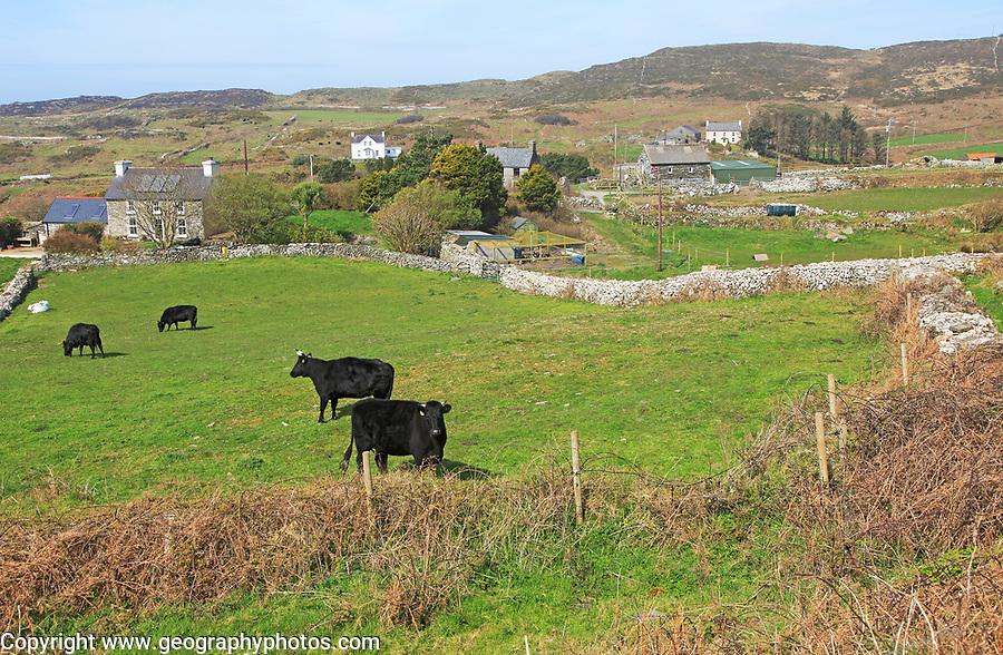 Cattle grazing in fields and farmhouses, Cape Clear Island, County Cork, Ireland, Irish Republic