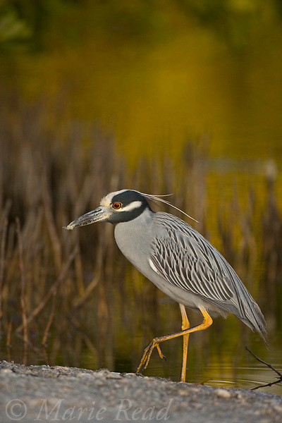 Yellow-crowned Night Heron (Nyctanassa violacea), Ding Darling National Wildlife Refuge, Florida, USA