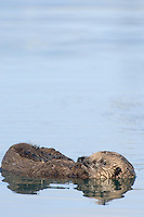 Sea Otter (Enhydra lutris) pup waiting for mom (who is diving for food) by floating on back.