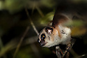 Greater Dwarf Lemur {Cheirogaleus major} climbing through rainforest canopy at night, Andasibe-Mantadia NP, Eastern Madagascar.